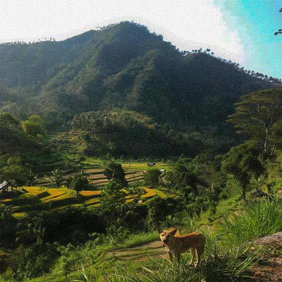 Bali Reisterassen Batur