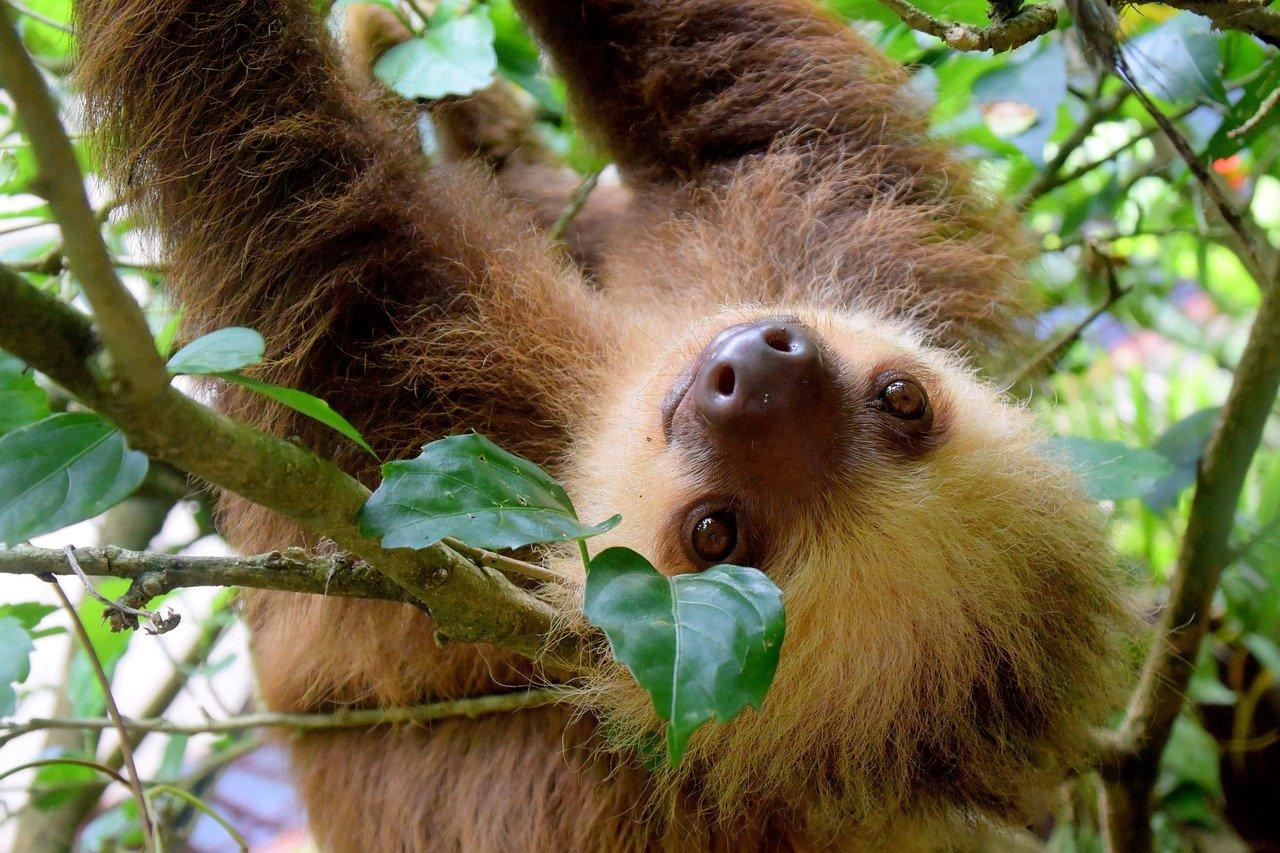 Naturparadies Costa Rica Faultier