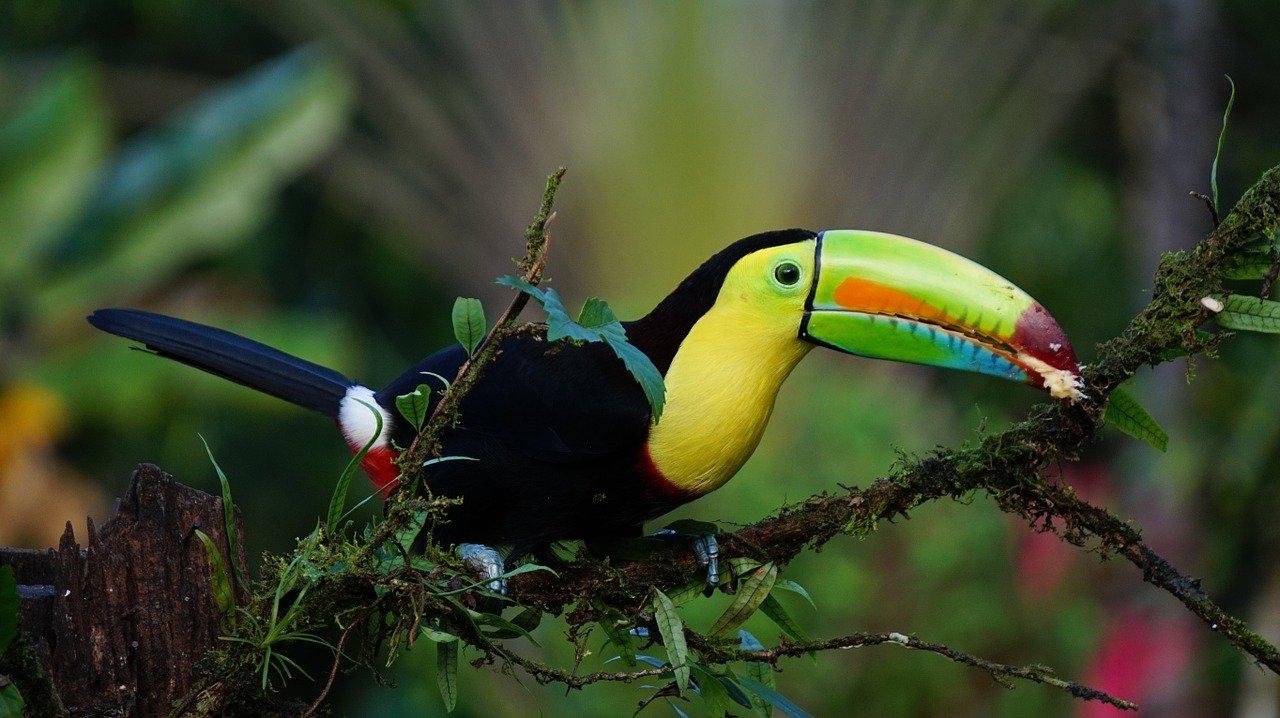 Naturparadies Costa Rica Tukan